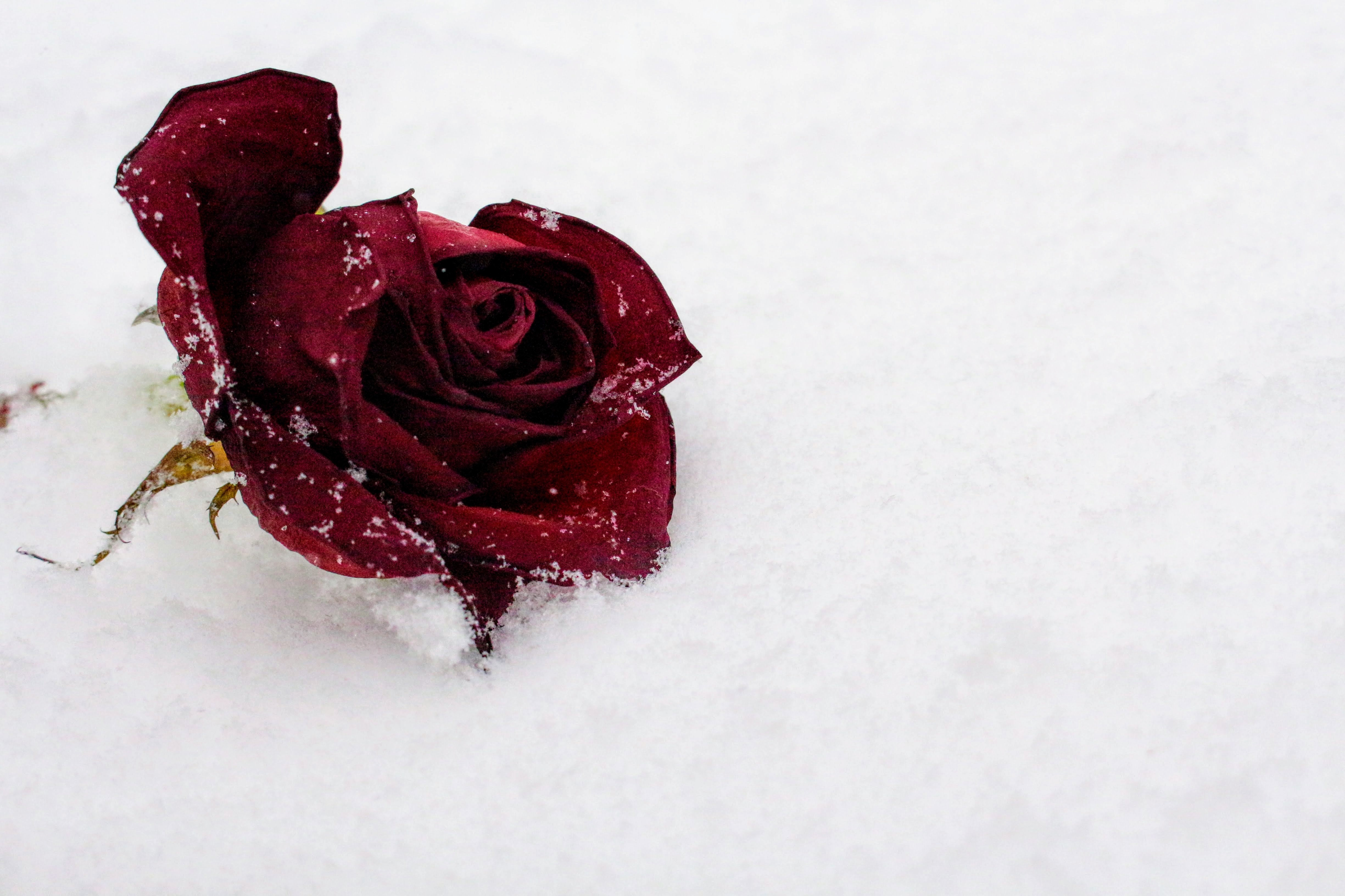 Kar Üzerinde Bir Gül