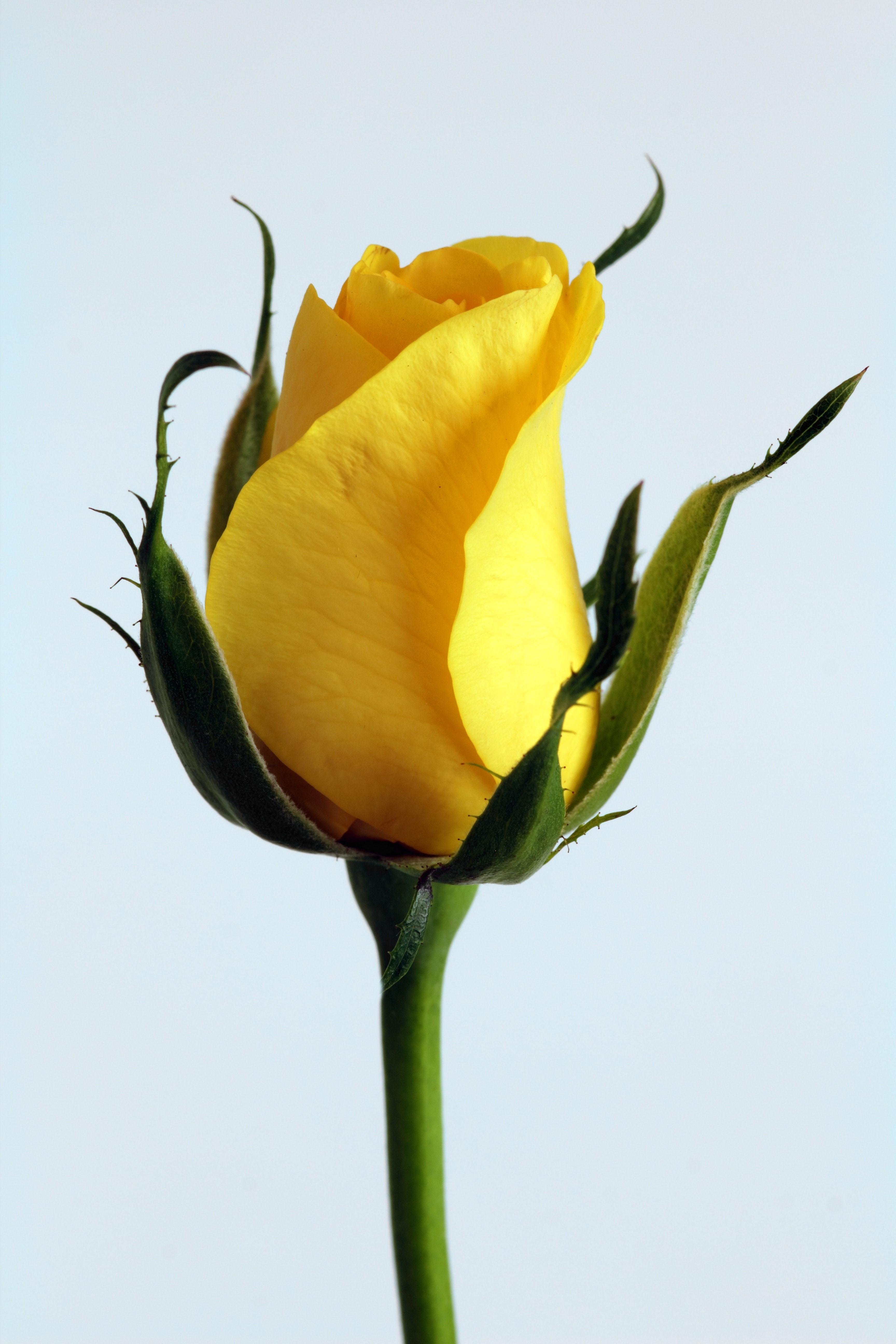 Sarı Gül Resimleri