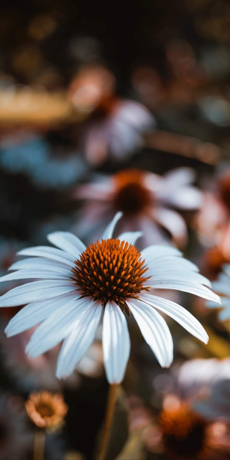 iPhone XS daisy