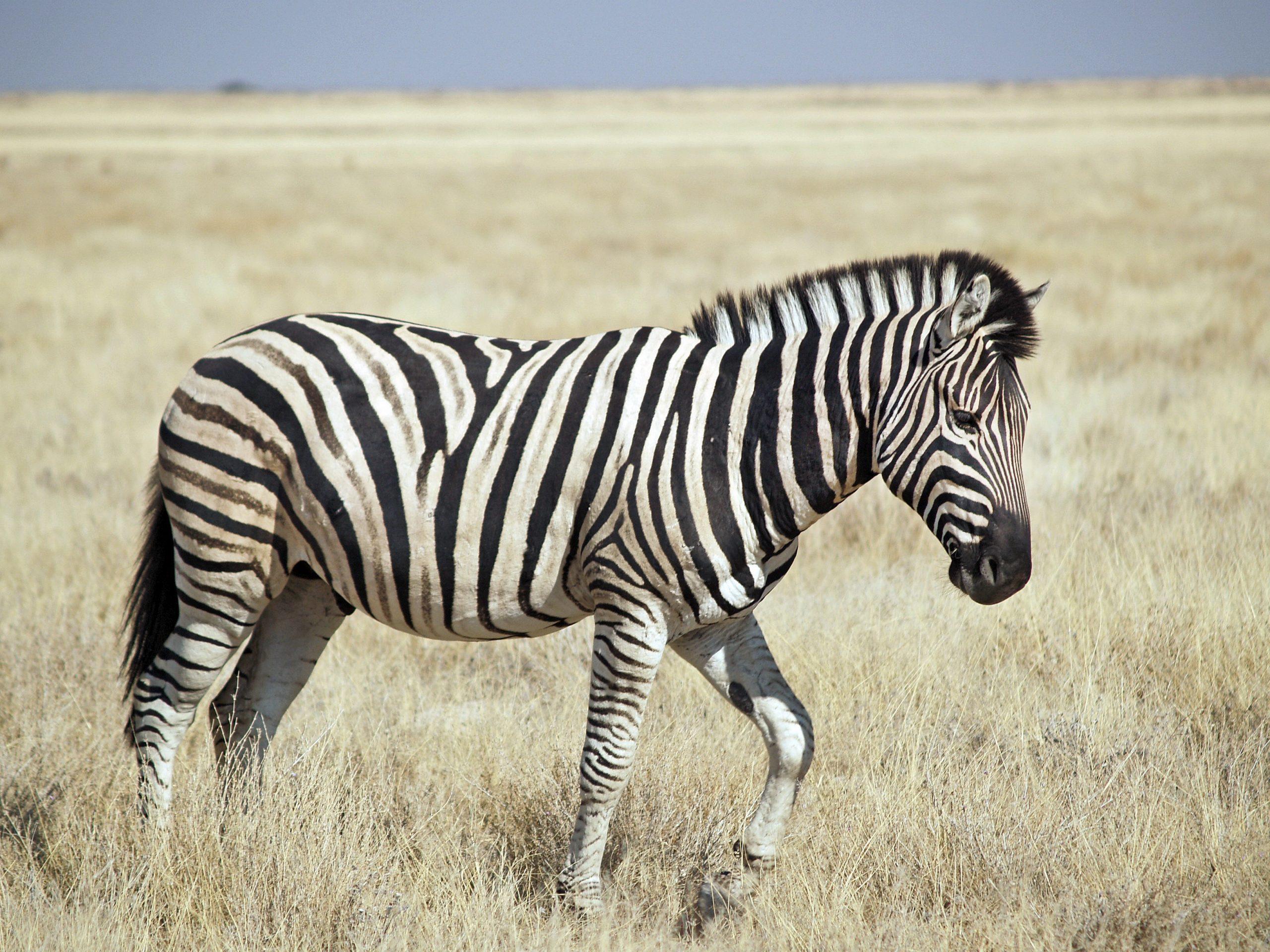 izgili Zebra Resimleri scaled
